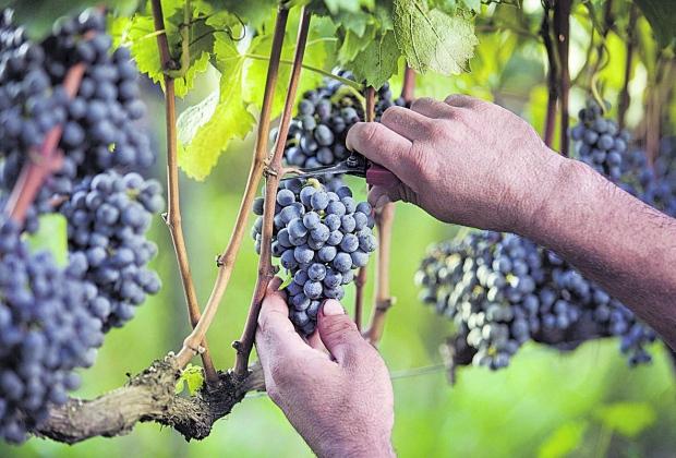 Impostos tiram vantagem do vinho nacional após dólar alto
