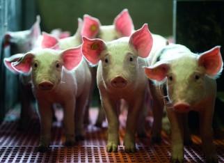 RS aprova redução do ICMS na comercialização de suínos vivos para outros estados