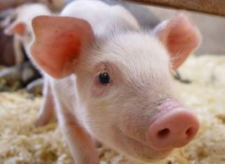 Prorrogada redução de ICMS na comercialização de suínos vivo