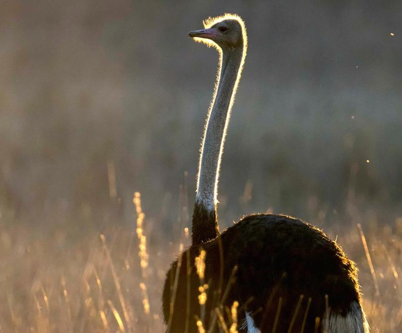 Jardineiro despedido após ataque de avestruz deve receber indenizações e ser reintegrado ao trabalho