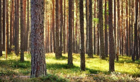 Dono de propriedade rural em SC não é obrigado a contratar profissional do CREA para o cultivo e manejo de pinus
